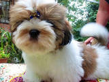 Собаки, щенки Ши-тцу, Фото