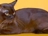 Кошки, котята Бурма, цена 0.60 Грн., Фото