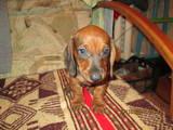 Собаки, щенки Гладкошерстная такса, цена 500 Грн., Фото