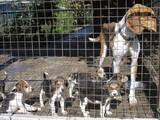Собаки, щенята Ганноверська гонча, ціна 3000 Грн., Фото