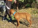 Собаки, щенки Венгерская выжла, цена 7000 Грн., Фото