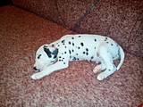 Собаки, щенята Далматин, ціна 500 Грн., Фото