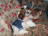 Собаки, щенята Ши-тцу, ціна 2900 Грн., Фото