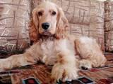 Собаки, щенята Англійський коккер, ціна 150 Грн., Фото