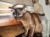 Кошки, котята Бурма, цена 750 Грн., Фото