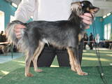 Собаки, щенята Російський довгошерстий тойтерьер, ціна 7000 Грн., Фото