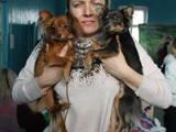 Собаки, щенки Русский длинношерстный тойтерьер, цена 7000 Грн., Фото