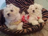 Собаки, щенки Мальтийская болонка, цена 9000 Грн., Фото