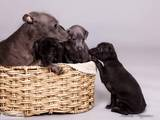 Собаки, щенки Левретка, цена 5000 Грн., Фото