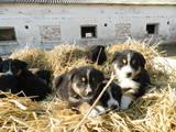 Собаки, щенята Гірський собака Берна, ціна 1500 Грн., Фото