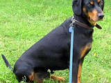 Собаки, щенята Баварський гончак, Фото