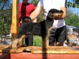 Собаки, щенки Эрдельтерьер, цена 3500 Грн., Фото
