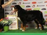 Собаки, щенята Гірський собака Берна, ціна 1000 Грн., Фото