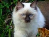 Кошки, котята Рэгдолл, цена 1500 Грн., Фото