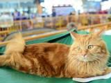 Кошки, котята Курильский бобтейл, цена 800 Грн., Фото