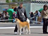 Собаки, щенки Акита-ину, цена 10 Грн., Фото