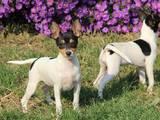 Собаки, щенята Невідома порода, ціна 20000 Грн., Фото