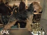 Собаки, щенята Вельштер'єр, ціна 6000 Грн., Фото