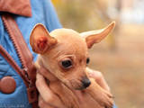 Собаки, щенята Російський гладкошерстий тойтерьер, ціна 4500 Грн., Фото