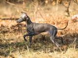 Собаки, щенята Левретка, ціна 8000 Грн., Фото
