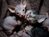 Кошки, котята Канадский сфинкс, цена 1200 Грн., Фото