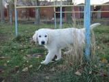 Собаки, щенята Золотистий ретрівер, ціна 3000 Грн., Фото