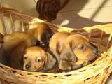Собаки, щенки Гладкошерстная миниатюрная такса, цена 1200 Грн., Фото