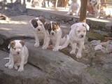 Собаки, щенки Американский бульдог, цена 2000 Грн., Фото