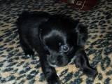 Собаки, щенки Гладкошерстная такса, цена 400 Грн., Фото