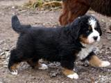 Собаки, щенки Бернская горная собака, цена 1500 Грн., Фото