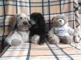 Собаки, щенята Той-пудель, ціна 1600 Грн., Фото