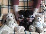 Собаки, щенки Той-пудель, цена 1600 Грн., Фото