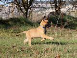 Собаки, щенки Бельгийская овчарка (Малинуа), цена 15000 Грн., Фото
