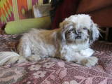 Собаки, щенята Ши-тцу, ціна 1500 Грн., Фото