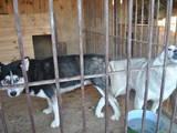 Собаки, щенята Сибірський хаськи, ціна 100 Грн., Фото