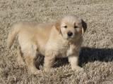 Собаки, щенята Леонбергер, ціна 2000 Грн., Фото