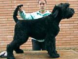 Собаки, щенята Чорний тер'єр, ціна 4000 Грн., Фото