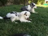Собаки, щенки Бордерколли, цена 2000 Грн., Фото