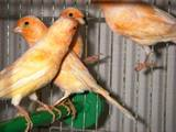 Папуги й птахи Канарки, ціна 350 Грн., Фото