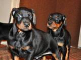 Собаки, щенята Доберман, ціна 1500 Грн., Фото