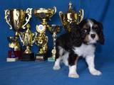 Собаки, щенята Кавалер-кинг-чарльз спаніель, ціна 8000 Грн., Фото