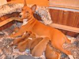 Собаки, щенята Басенджі, ціна 8700 Грн., Фото