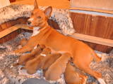Собаки, щенки Басенджи, цена 8700 Грн., Фото