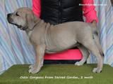 Собаки, щенки Мальоркский бульдог (Ка Де Бо), цена 9000 Грн., Фото