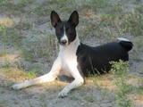 Собаки, щенки Басенджи, цена 16000 Грн., Фото