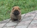 Собаки, щенки Чау-чау, цена 3500 Грн., Фото