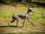 Собаки, щенята Левретка, ціна 15000 Грн., Фото