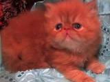 Кошки, котята Персидская, цена 800 Грн., Фото