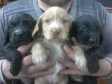 Собаки, щенки Русский спаниель, цена 3000 Грн., Фото
