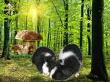 Грызуны Морские свинки, цена 300 Грн., Фото